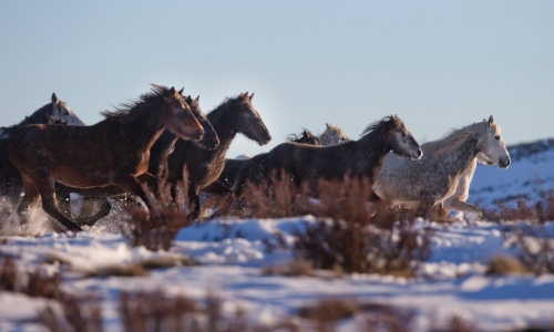A photo of a herd of brumbies.